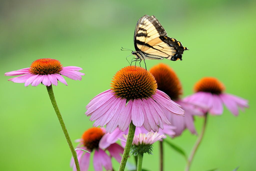 Echinacea In Saluda A Magnet For Butterflies And Health Benefits