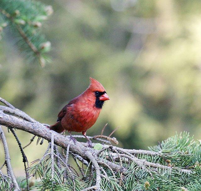 birds of Western North Carolina
