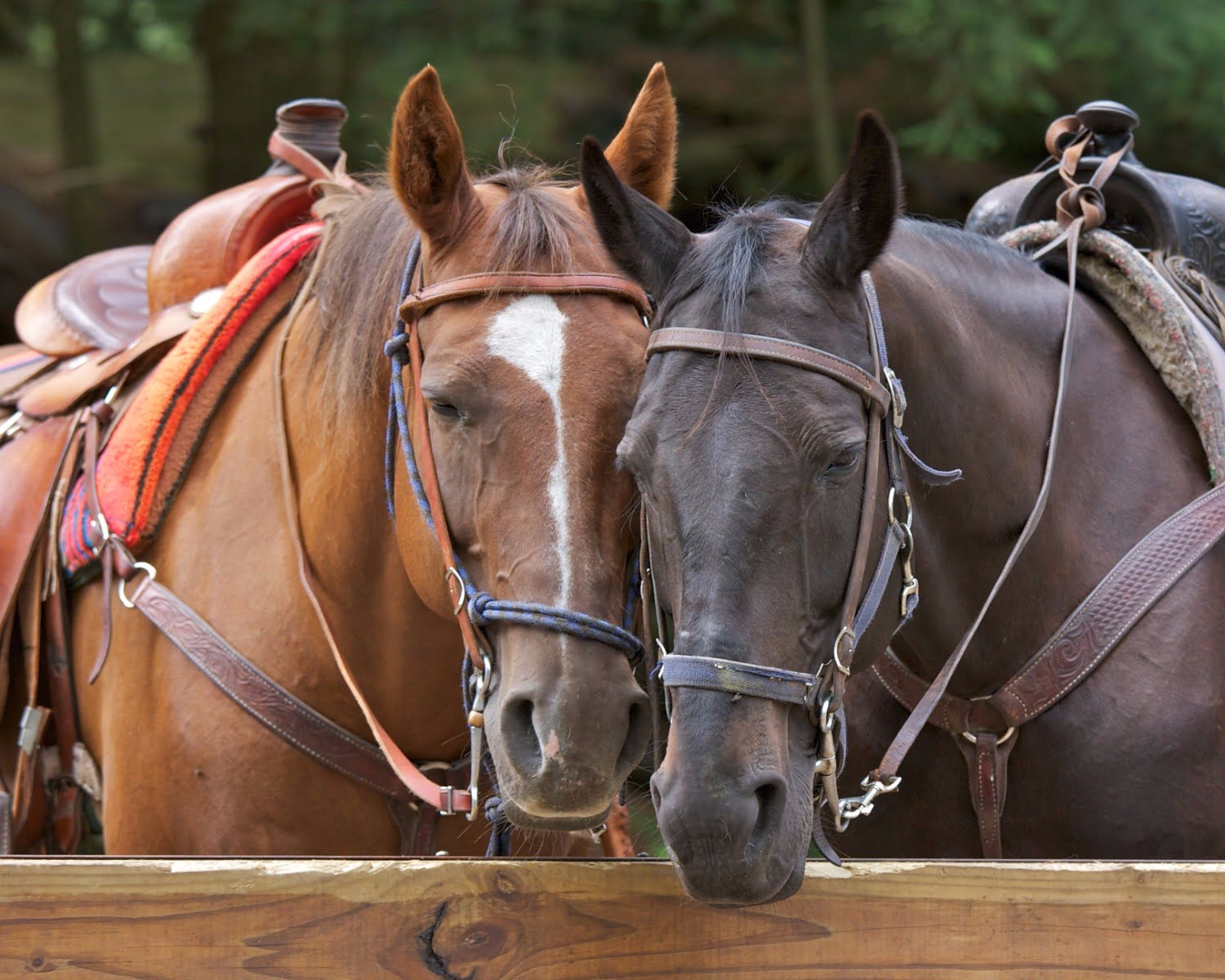 two horses ready for horseback riding near asheville